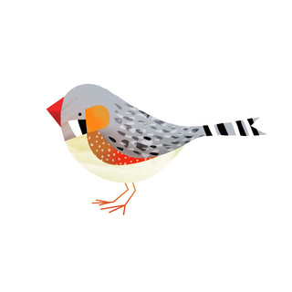 Zebra finch illustration