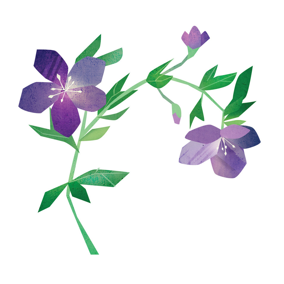 Hellebore illustration