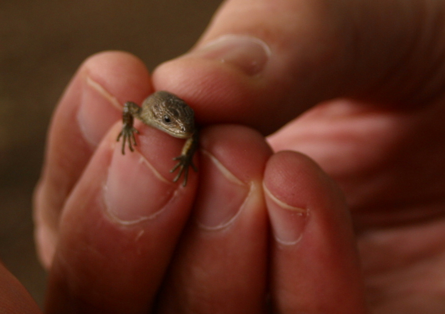 HARMONY-NETHERLANS-Lizard.JPG
