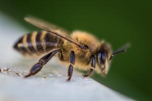 california honeybee
