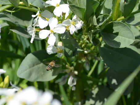 Acres of Natural Flowers for Bee Pollen