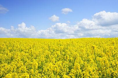 field of yellow bee pollen