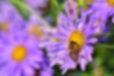 Honeybee collecting fresh bee pollen