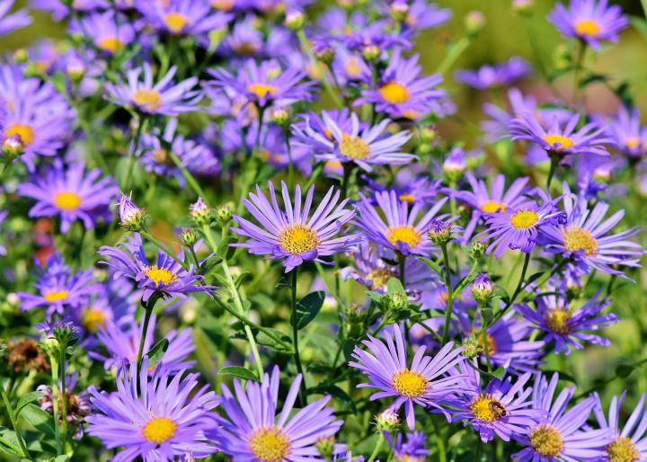 aster flowers for honeybees