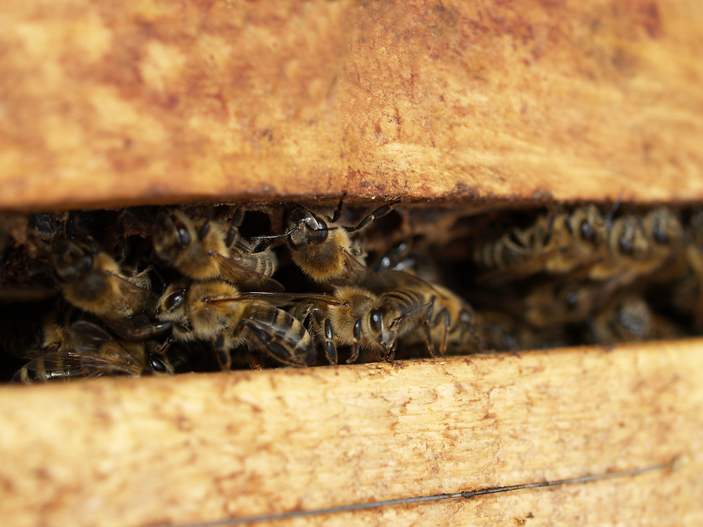 honeybees getting ready for winter