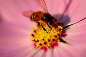 bee collecting fresh bee pollen