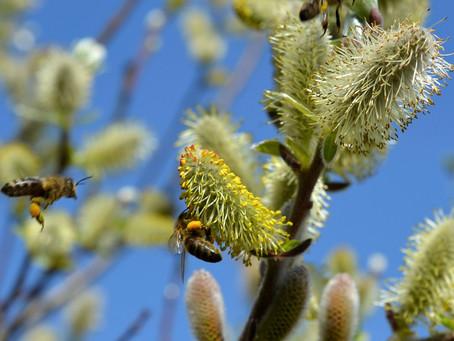 Native Flowers that Honeybees Love