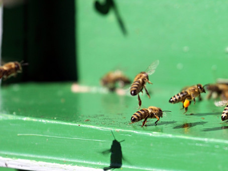 How Fresh Bee Pollen is Gathered By Honeybees