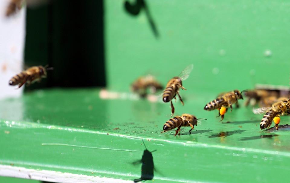 bees carrying pollen