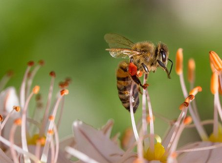 What does it takes for a bee to gather Fresh Bee Pollen?