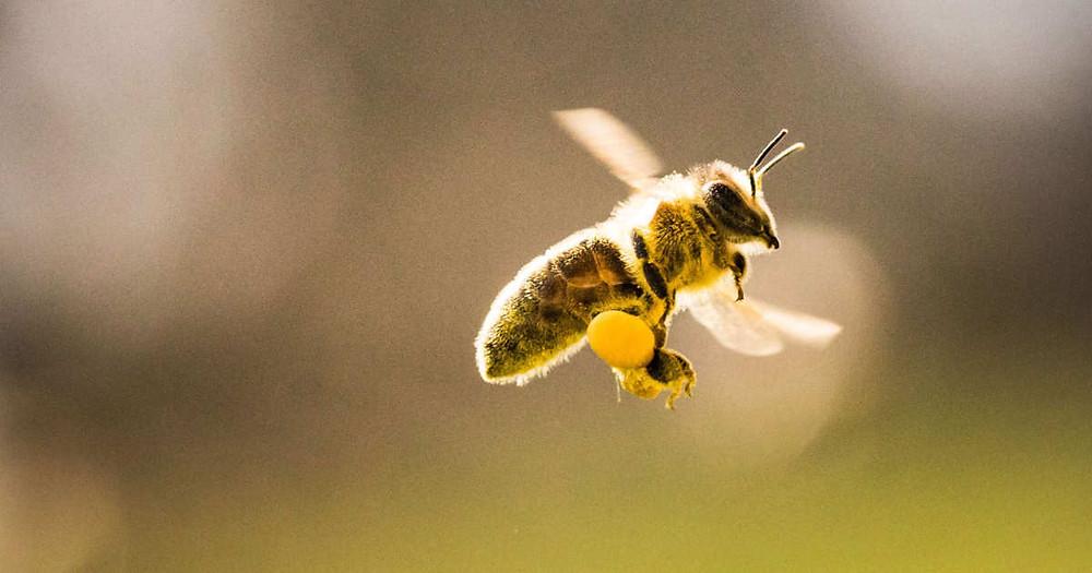 honeybee flying with pollen