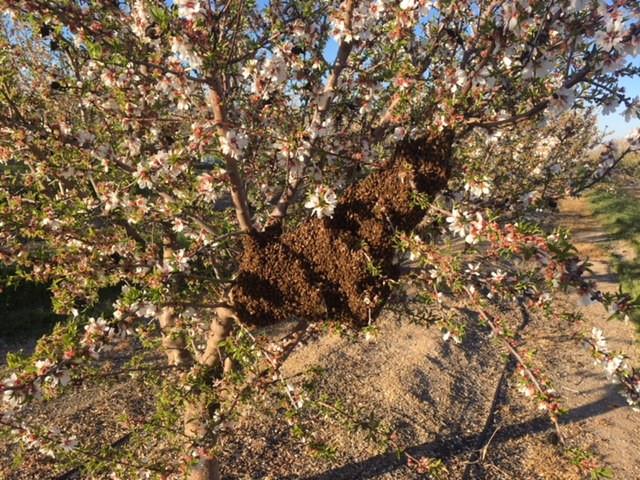 honeybees swarm in spring