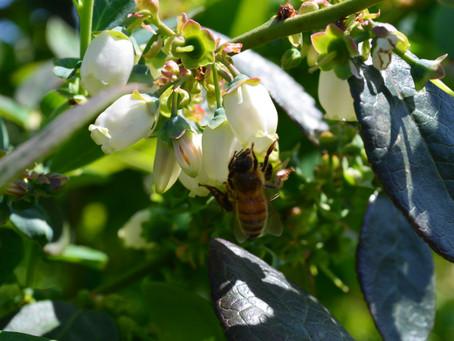 Honeybees love Blueberries too!