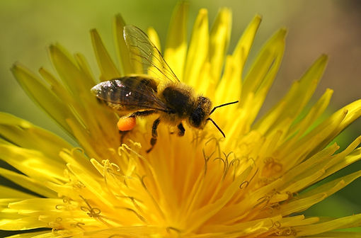 Bee, Pollen, Spring, Pollination