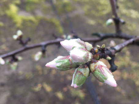 Fresh Bee Pollen gathered from Almond Blossoms for hive health