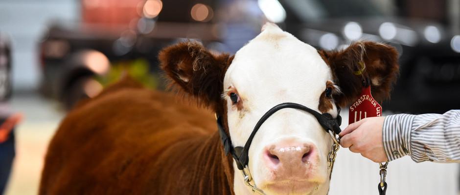 K-Cow Temptation ET 14G