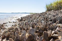 Bluffton_Oyster_Reef.jpg