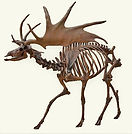 Ice Age giant Irish deer skeleton white