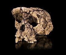About Gallery Human Evolution Sahelanthr
