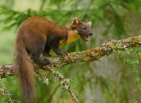 MAMMAL NAMES   Weasels & Wisents: