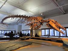 A Journey from Land to Sea Basilosaurus