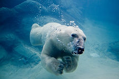 Ice Age Polar Bear swimming underwater C