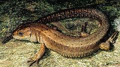 Reptiles Zootoca vivipara CC WI tnail sm