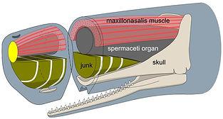 Mammal Names Sperm Whale spermaceti orga
