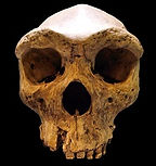 About the Book Homo erectus skull black