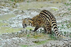 Ice Age Civet CC WI tnail smaller.jpg