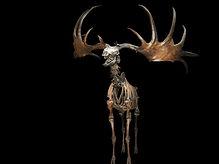 Ice Age giant Irish deer black backgroun
