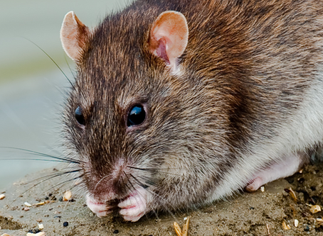 MAMMAL NAMES   The Rat Trap: