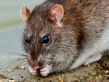 MAMMAL NAMES | The Rat Trap:
