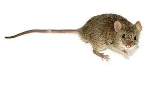 Mammal Names House Mouse CC WI tnail sma
