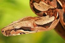 Reptiles Boa Constrictor closeup CC WI t