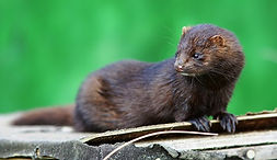 Mammal Names American Mink CC WI tnail s