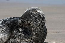 The Fantastic Fin-Feet grey seal CC WI t