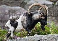 Ewe Feral Swine Feral Irish Goat Glendal