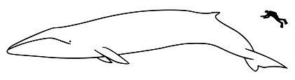 Mammal Names Super Sized Cetaceans Size
