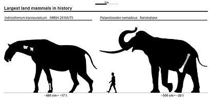 Indricothere v P namadaicus size.jpg