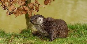 Mammal Names Otter CC.jpg