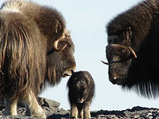 Ice Age Musk oxen CC WI tnail smaller.jp