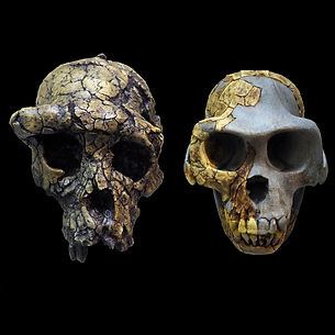 Blog Page Gallery Human Evolution skulls