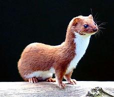 Mammal Names Weasel Mustela nivalis CC W