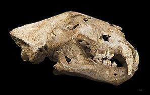 Megafaunal Extinctions cave lion skull C