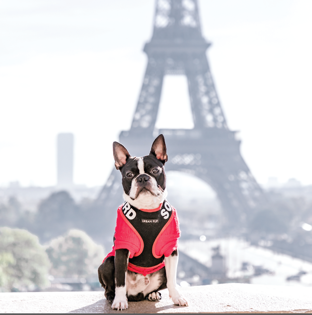 Boston Terrier Paris, Dog at Eiffel Tower, Deaf Dogs