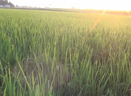 【スマート農業情報】 2020.9.10