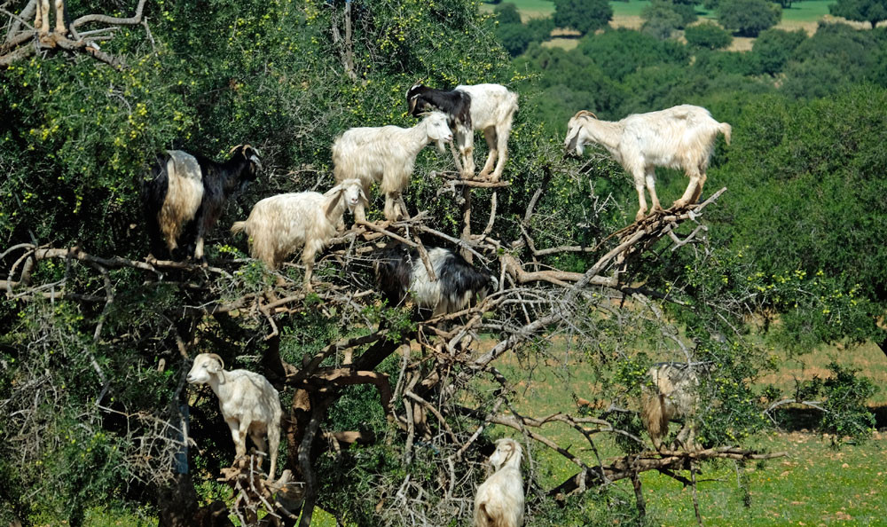 Goats in tree: Morocco