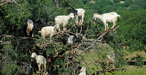 Follow me on Instagram... this week: Goats In Trees!