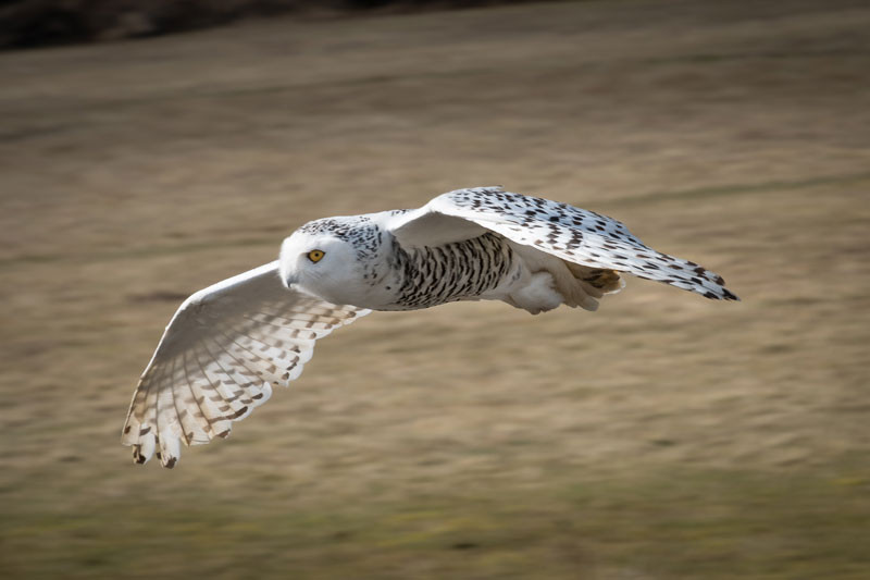 Snowy Owl at Hawk Conservancy Trust